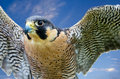 Peregrine falcon falco peregrinus aka duck hawk the fastest animal on earth wings open against blue sky Stock Image