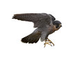 Peregrine falcon falco peregrinus isolated on white background Royalty Free Stock Photos