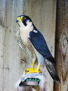 Peregrine falcon falco peregrinus latin bird of prey family stands dark slate gray plumage back colorful light belly and black Royalty Free Stock Image