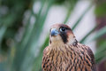 Peregrine falcon falco peregrinus look to the left Stock Photo