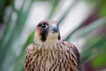 Peregrine falcon falco peregrinus looking to the right Royalty Free Stock Photography
