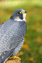 Peregrine Falcon (Falco peregrinus) Looks up from Perch Stock Photo