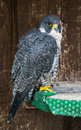 The peregrine falcon falco peregrinus on perch full body of captive bird Stock Image