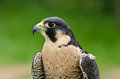 Peregrine falcon falco peregrinus portrait of aka duck hawk the fastest animal on earth Stock Image