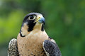 Peregrine falcon falco peregrinus portrait of aka duck hawk the fastest animal on earth Stock Photography