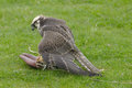 Peregrine falcon falco peregrinus about to eat after catching the lure wings spread to protect food Stock Photos