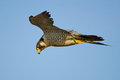 Peregrine falcon in flight against blue sky Stock Photos
