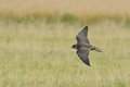 Peregrine falcon in flight a trained male with attached radio transmitter to the leg is flying over the field Royalty Free Stock Photography