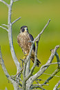 Peregrine falcon juvenile sitting in a tree Royalty Free Stock Images