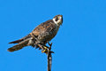 Peregrine falcon perched on a branch Royalty Free Stock Photos