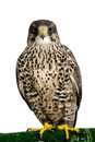 A peregrine falcon poses for the camera young on support isolated on white background Royalty Free Stock Images