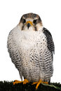 A peregrine falcon poses for the camera young on support isolated on white background Royalty Free Stock Photos