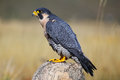 Peregrine falcon sitting on a rock peregrinus Stock Photos