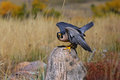Peregrine falcon sitting on a rock peregrinus Stock Image