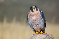 Peregrine falcon sitting on a rock peregrinus Royalty Free Stock Photo