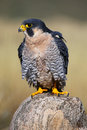 Peregrine falcon sitting on a rock peregrinus Stock Photo