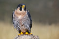 Peregrine falcon sitting on a rock peregrinus Stock Photography