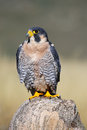 Peregrine falcon sitting on a rock peregrinus Royalty Free Stock Photos