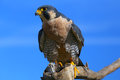 Peregrine falcon sitting on a stick peregrinus Stock Photography