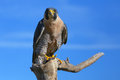 Peregrine falcon sitting on a stick peregrinus Royalty Free Stock Photos
