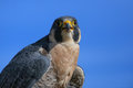 Peregrine falcon sitting on a stick peregrinus Royalty Free Stock Image