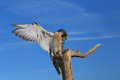 Peregrine falcon sitting on a stick peregrinus Royalty Free Stock Photo