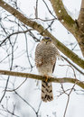 Peregrine falcon sitting tree branch Royalty Free Stock Image