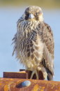 Peregrine falcon an wild immature falco peregrinus with feathers ruffled by the wind Royalty Free Stock Photography