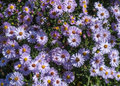 Perennial asters growing bush and flowering in autumn Stock Image