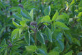 Perennial basil the leaves and buds of the culinary herb read for harvest this is a variety Stock Photos