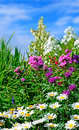Perennial border colorful with phlox Stock Images