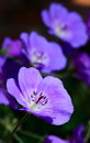 Perennial geranium others background Stock Image