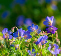 Perennial geraniums a cluster of cranesbill rozanne in evening sunlight Royalty Free Stock Photo