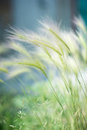 Perennial grass feather in a field Stock Photos