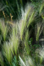 Perennial grass feather in a field Royalty Free Stock Images