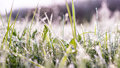 Perennial grass in pale morning light Royalty Free Stock Photo