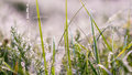 Dew lined perennial grass in pale morning light Royalty Free Stock Photo