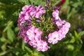 Perennial phlox (Phlox paniculata - Laura)