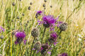 Perennial plant of the asteraceae family centaurea scabiosa l greater knapweed Royalty Free Stock Photos
