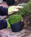 Perennial plants planting Stock Images