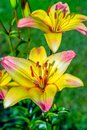 Perennial tall varietal lilies grow on a flower bed Royalty Free Stock Photo