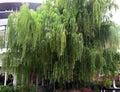 Perennial tree big Royalty Free Stock Images