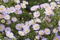 Perennis d'aster - fond naturel Photographie stock