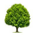 Perfect ash tree isolated on white Royalty Free Stock Photo