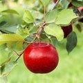 Perfect, beautiful ripe red apple fruit growing on tree in orchard Royalty Free Stock Photo