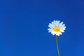 Perfect daisy flower against uniform blue sky, copyspace available Royalty Free Stock Photo