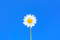 Perfect daisy flower against uniform blue sky copyspace available single uniformly bright selective focus central composition Stock Photo