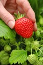 Perfect fresh strawberry being plucked with green leaves in the background Stock Photo