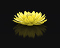 Perfect golden lotus water lily isolated beautiful blooming gold flower on pure black background with subtle reflection metaphor Royalty Free Stock Photo