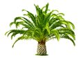 Perfect palm tree isolated on white Royalty Free Stock Photo